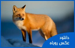 15+ عکس روباه