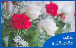 دانلود عکس گل رز