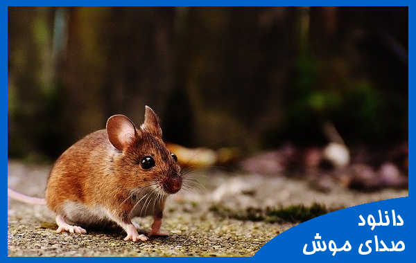 صدای موش