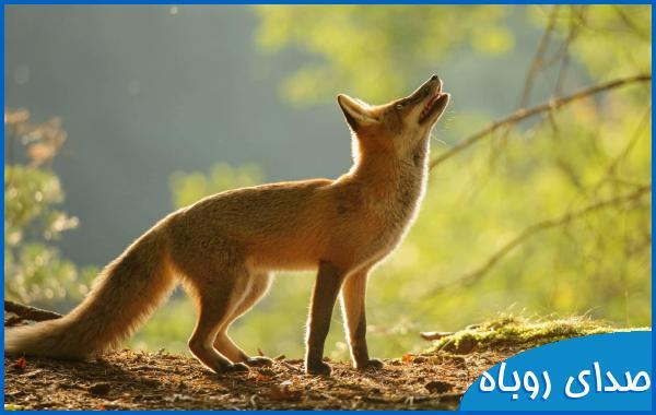 صدای روباه
