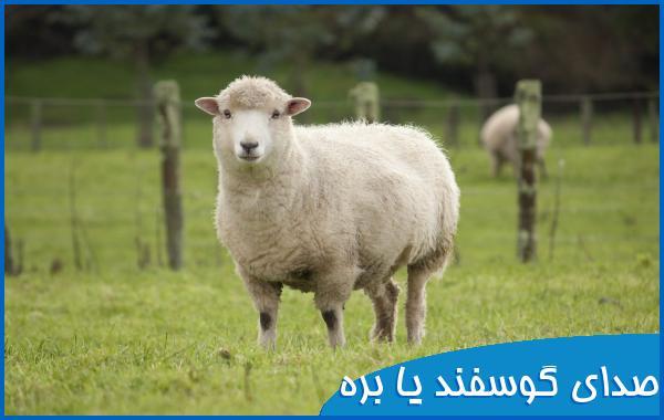 صدای گوسفند یا بره
